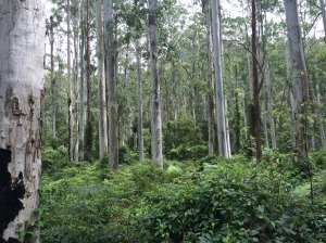 Blue Gum Forest - one of the few unlogged areas in the Grose Valley.